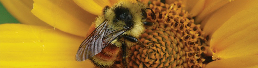 Tri-coloured Bumblebee on False Sunflower - photo credit: Larry Watkins, MNRF.
