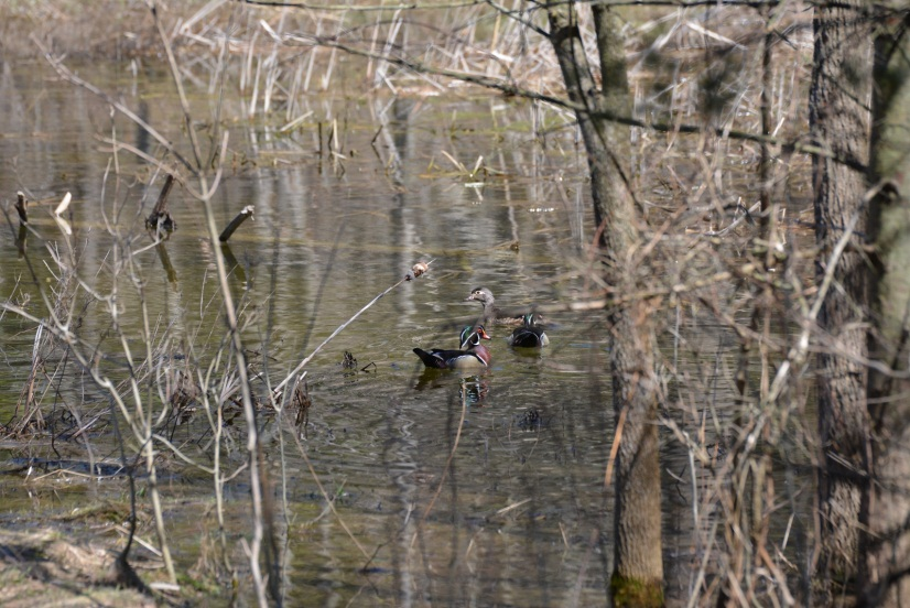 Figure 3. Wetland area with Wood Ducks in April of 2014.