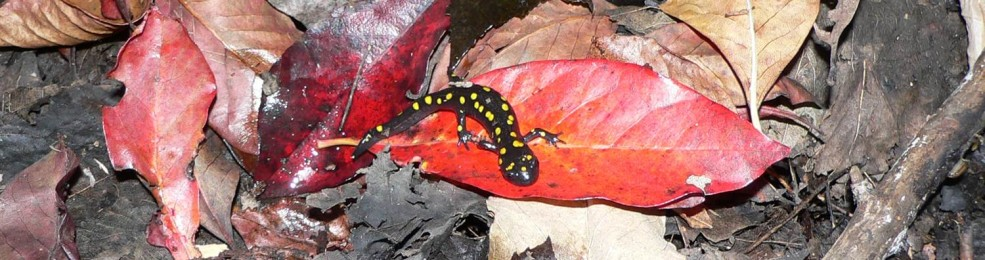 This is a photo of a Spotted Salamander on leaves on the forest floor - photo credit: A. Dextrase