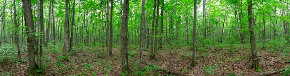 Sugar Maple Forest - Photo credit: Larry Watkins, OMNRF